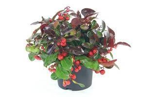 Зимняя ягода гаультерия, выращивание и виды