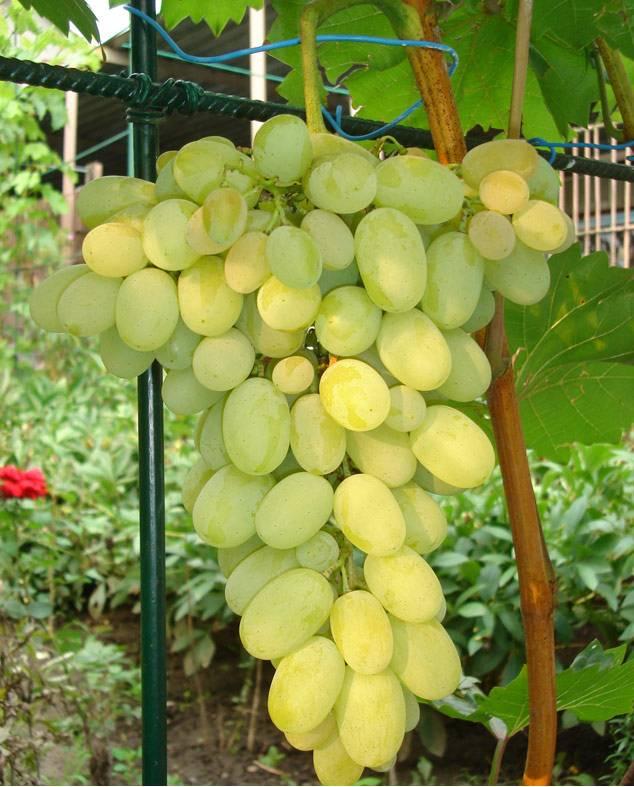 Характеристика сорта винограда Феномен