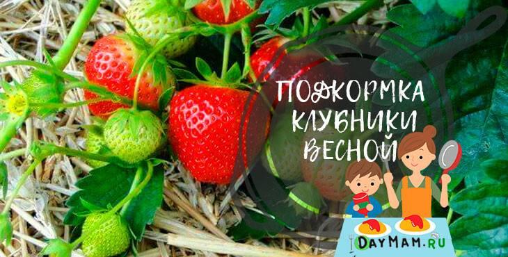 Чем удобрять клубнику весной, чтобы получить хороший урожай