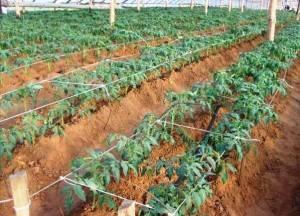 Схема посадки томатов в открытый грунт и расстояние между растениями