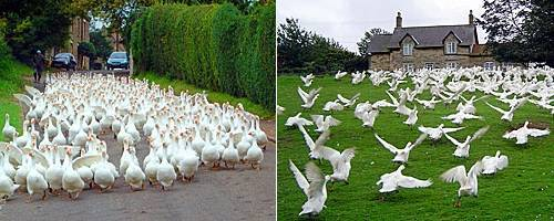 Разведение гусей в домашних условиях   cельхозпортал