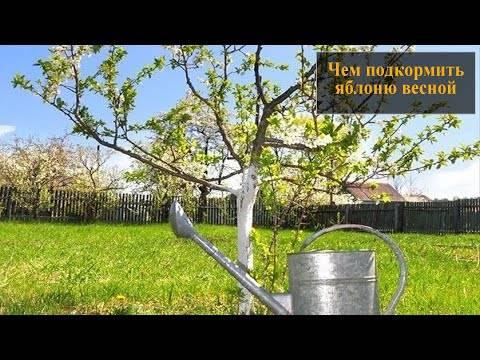Подкормка молодых саженцев яблони весной и летом