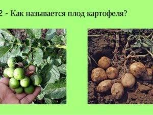 Все о картофеле: истоирия, свойства, характкристика