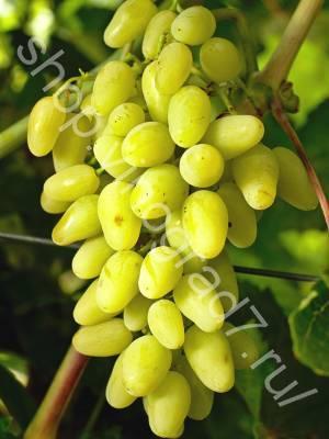 Виноград кишмиш лучистый: описание сорта, фото, отзывы, видео