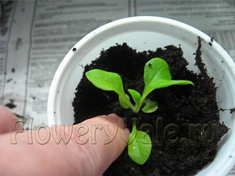 Когда пересаживать петунию после всходов в горшки и кашпо, какой объем емкости нужен, сколько рассады войдет в одну, как ухаживать за растением, и фото оформления