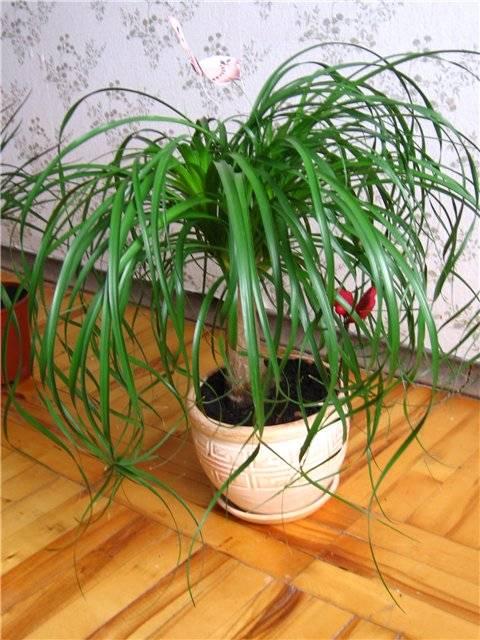 Нолина (бокарнея, бутылочное дерево): фото, уход в домашних условиях, пересадка, болезни и вредители selo.guru — интернет портал о сельском хозяйстве