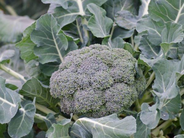 Как правильно есть брокколи, чтобы получить максимальную пользу для здоровья