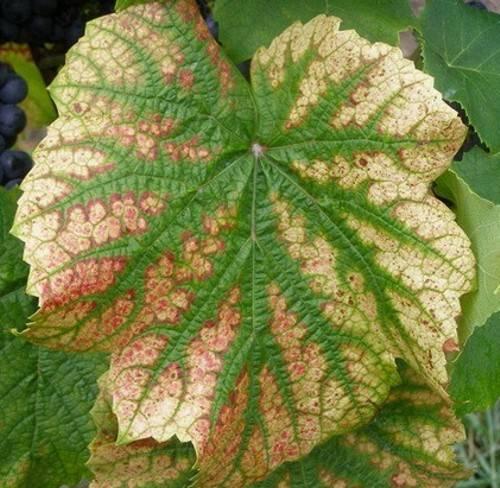 Желтеют листья у винограда: причины, как лечить