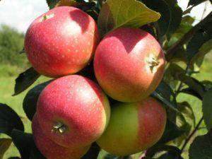 Яблоня солнцедар