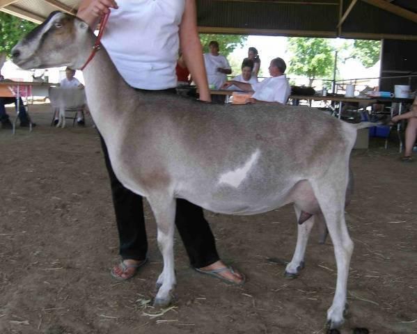 Дойные козы: фото, видео, характеристики, описание молочной породы