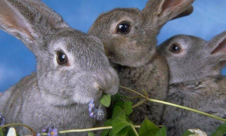 Крапива в рационе кроликов