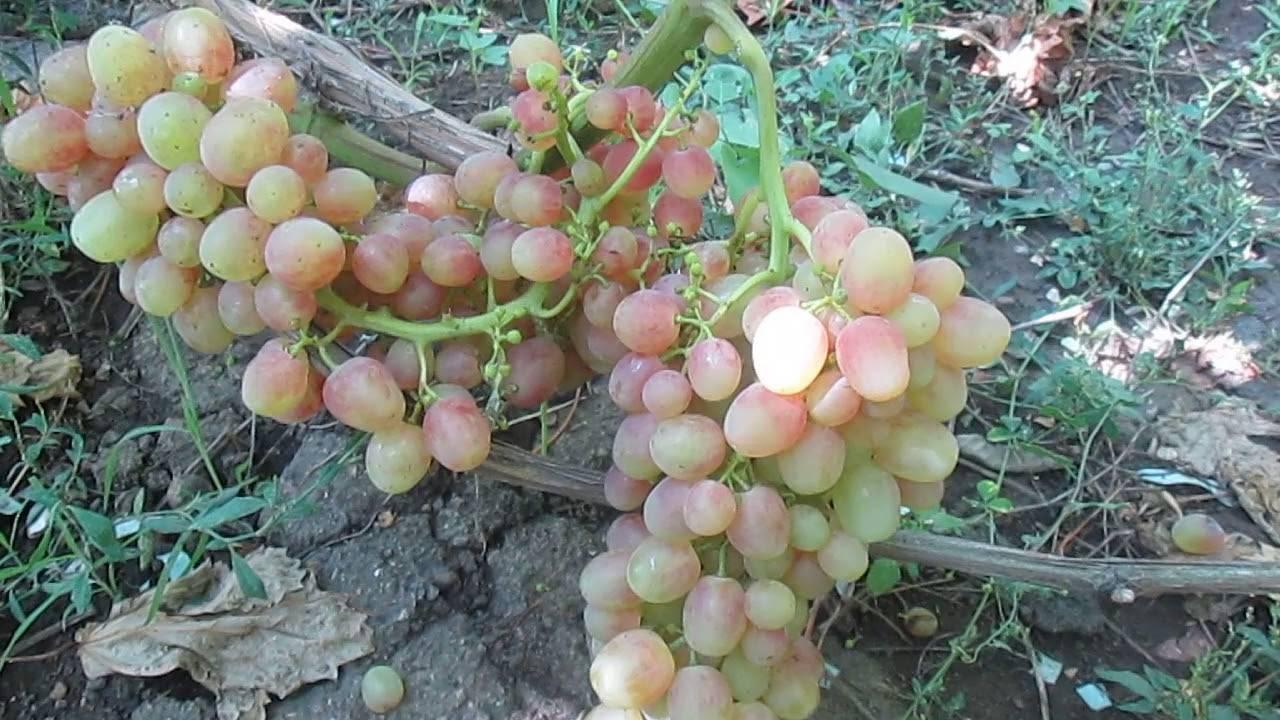 Сорт винограда гурман ранний: описание, фото