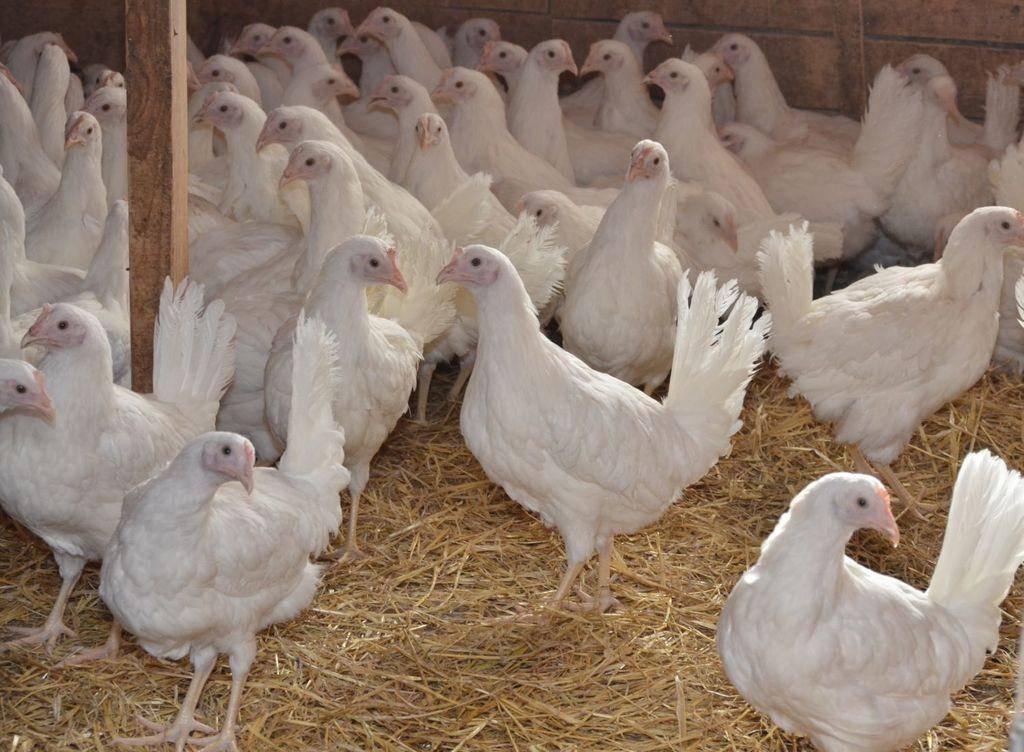Браун ник – один из самых популярных кроссов яичного направления, разведение которого весьма прибыльно для фермеров