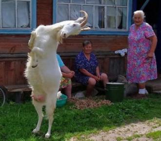 Симптомы мастита у козы. лечение болезни