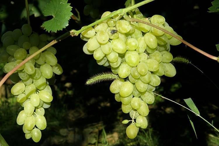 Характеристика основных сортов винограда [1952 негруль а.м. - винаградство]