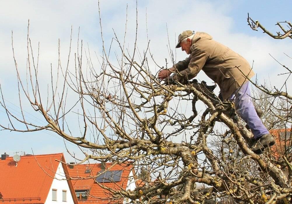 Обрезка старых яблонь: схема осенью и весной для начинающих садоводов