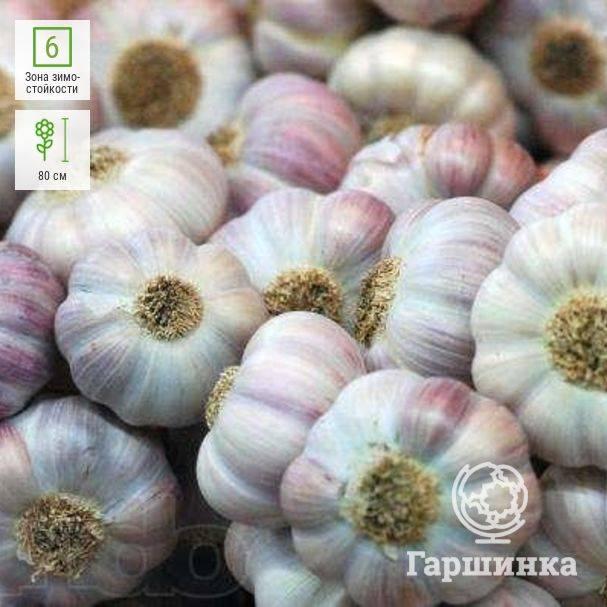 Чеснок любаша: описание сорта, особенности выращивания озимого урожая, а также способы его хранения и области применения