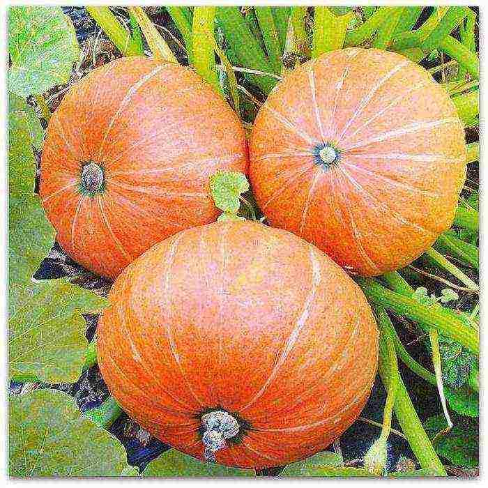 Необычные сорта тыквы | во саду и в огороде