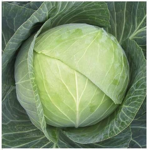 Добротные урожаи крепких и сочных плодов — капуста кандиса f1: отзывы и описание сорта