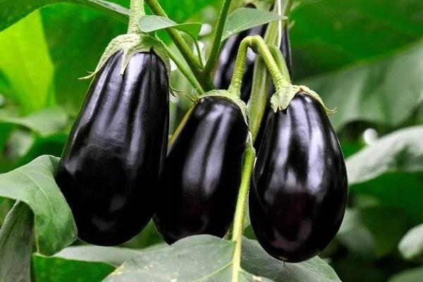 Баклажан черный красавец: описание сорта, фото кустов и полученного урожая, отзывы дачников