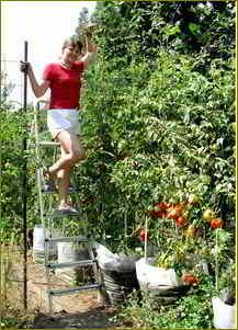 Как выращивать томатное дерево в теплице   вырасти сад!