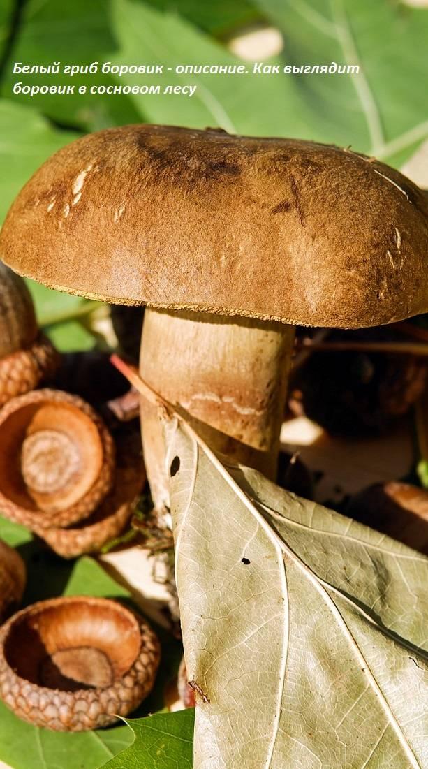 Боровик - 73 фото основных видов самых больших и вкусных грибов