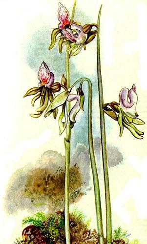 Надбородник безлистный: растение из красной книги