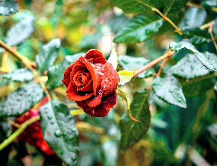 Правильная посадка саженца розы осенью в 2020 году в открытый грунт