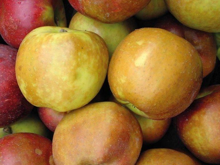 Руководство для садовода: какие хранящиеся до весны зимние сорта яблок можно вырастить?