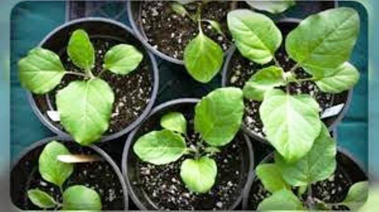 Вырастить рассаду перца и баклажан