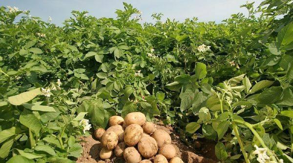 Подкормка картофеля до и после посадки