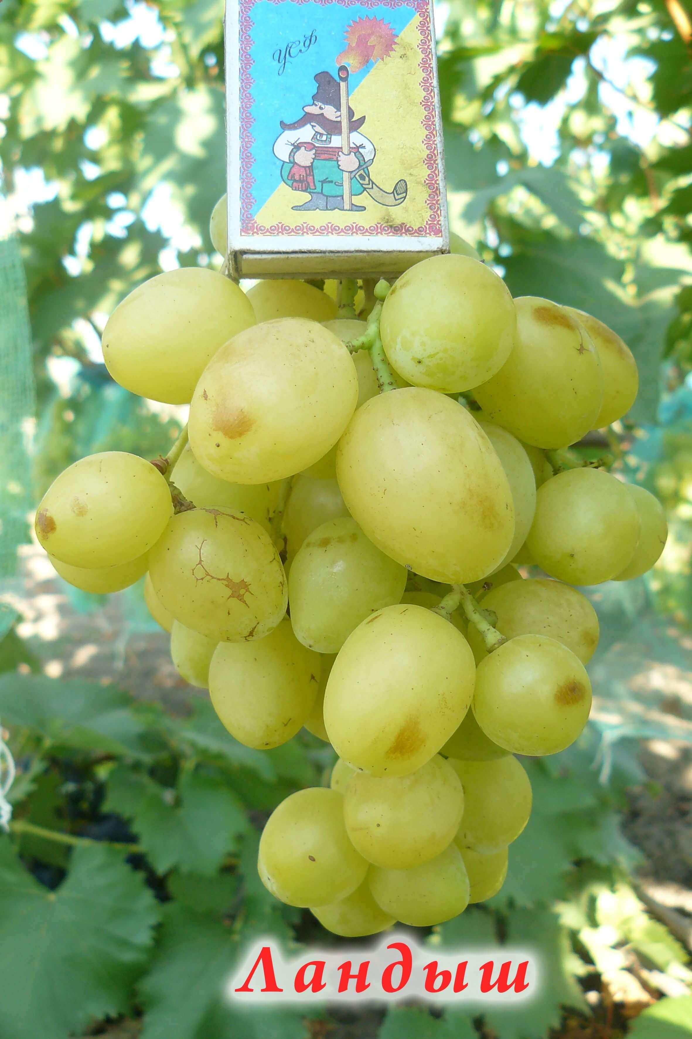 Описание сорта винограда «ландыш» — удовольствие и наслаждение