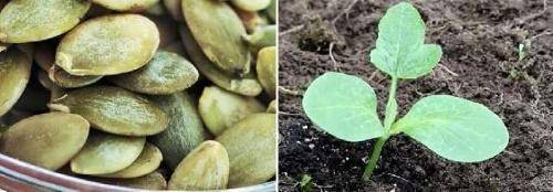Как выполняется посадка тыквы семенами в открытый грунт