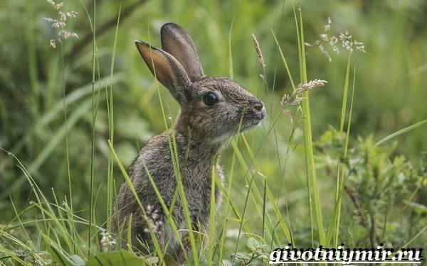 Сходство зайца-беляка и зайца-русака