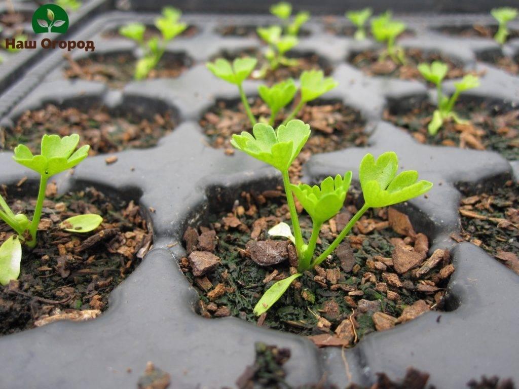 Сельдерей листовой: когда в 2021 сажать на рассаду, как вырастить из семян, лучшие сорта