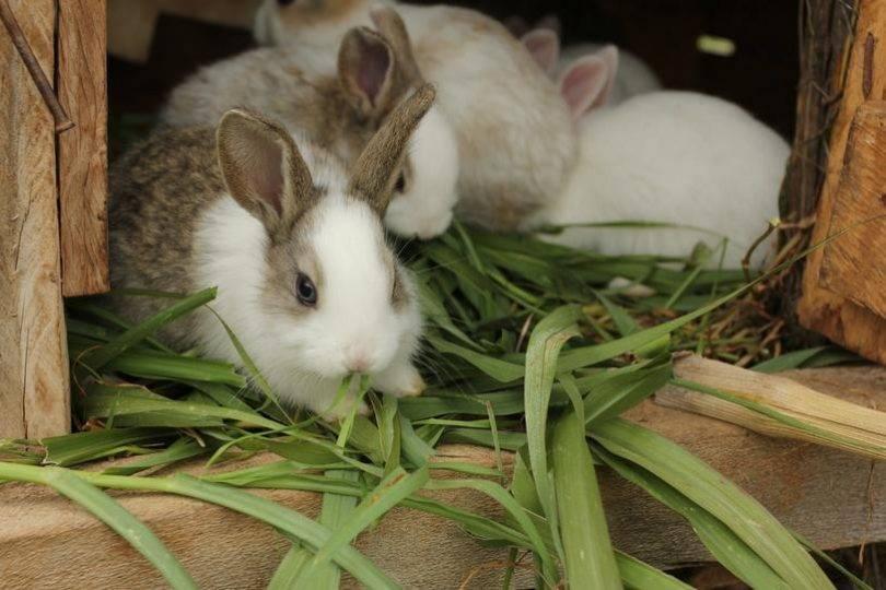 Как крольчиха кормит крольчат молоком и сколько раз в день