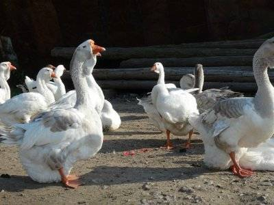 Тулузская порода гусей — выгодная красота