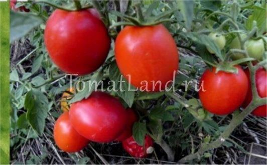 Томат маруся: характеристика и описание сорта, урожайность и фото