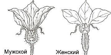 Сорта огурцов с фото и описанием: высокоурожайные для открытого грунта, салатные и гладкие, короткоплодные и длиноплодные, желтые и другие популярные сорта