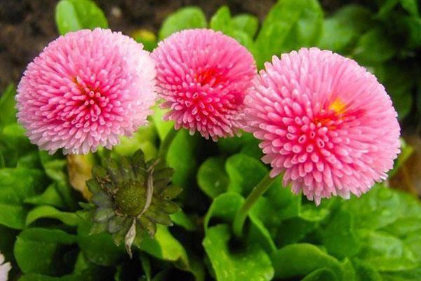 Маргаритка (50 фото): многолетние цветы на клумбе, посадка и уход в открытом грунте. белые маргаритки и другие. описание и выращивание из семян на рассаду