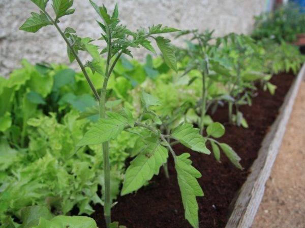 При какой температуре высаживают помидоры в теплицу