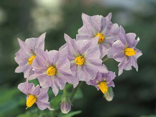 Цветок и плод картофеля