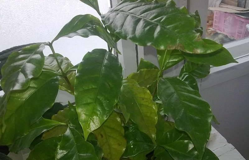 Кофейное дерево в домашних условиях: выращивание и уход