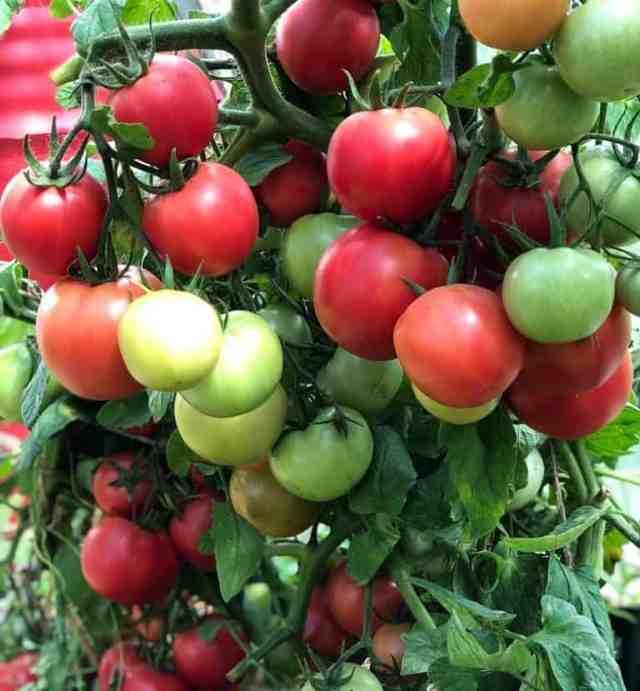 Как повысить урожай томатов   во саду и в огороде