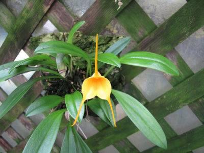 Масдеваллия: уход за орхидеей в домашних условиях