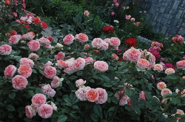 Роза чиппендейл: описание и характеристики сорта, применение в парковой зоне, отзывы садоводов + секреты посадки и ухода