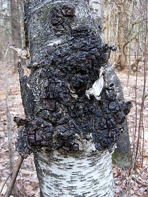 Чага (березовый гриб): как растет, где собирать, фото