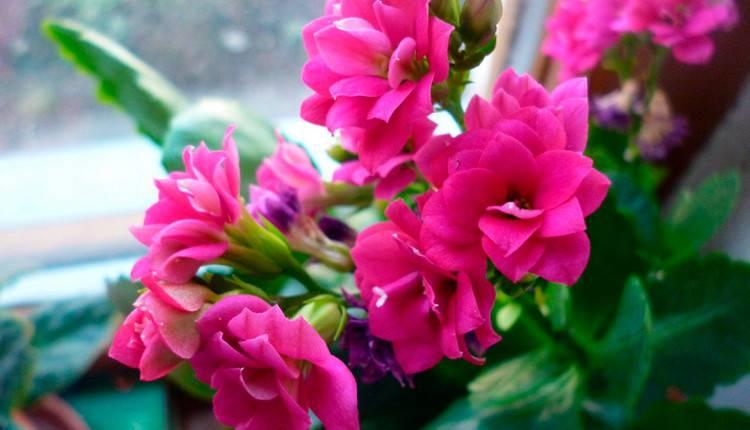 Цветение каланхоэ в домашних условиях: сколько раз, уход после этого, что делать