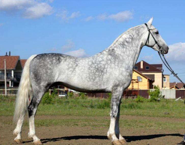 Порода лошади русский рысак: фото, экстерьер, характеристики и описание