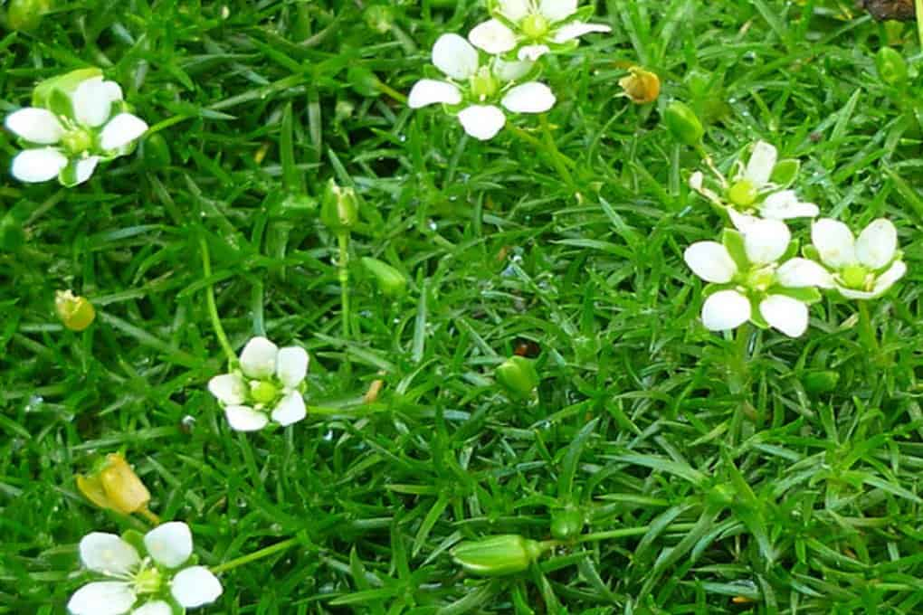 Мшанка шиловидная: описание сортов, правила посадки и ухода, применение в дизайне сада
